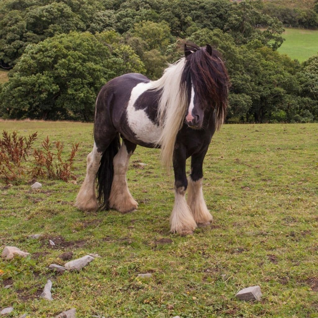 gypsy vanner horse standing in a field