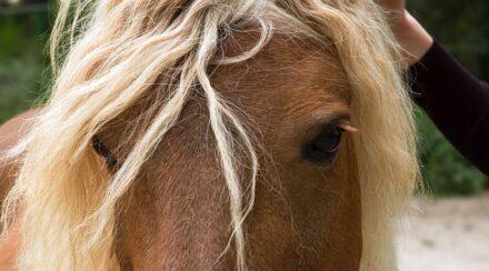 Haflinger Horse Breed Profile – Color, Temperament & Price