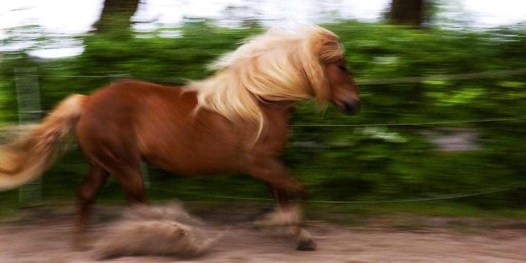 hafflinger horse loping