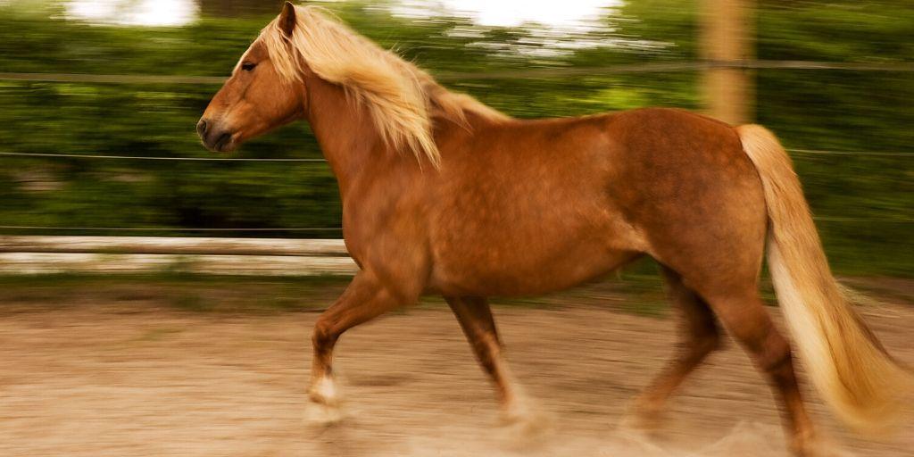 haflinger horse trotting