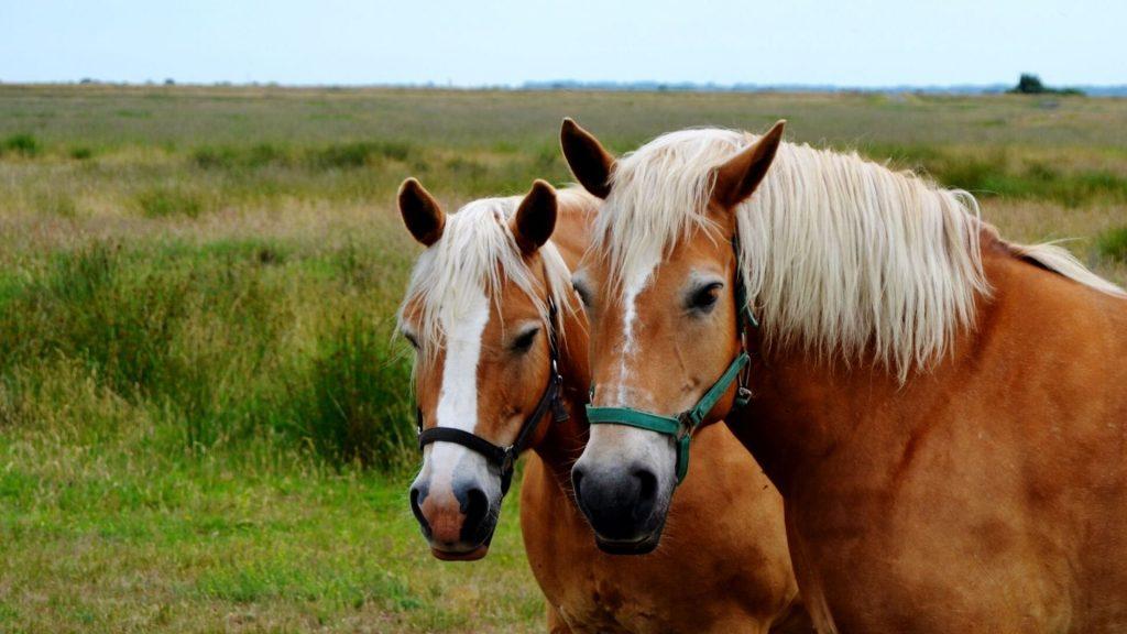 hafflinger horses