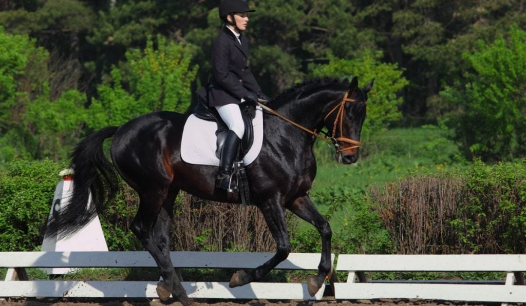 9 Popular Warmblood Horse Breeds Every Equestrian Should Know Helpful Horse Hints