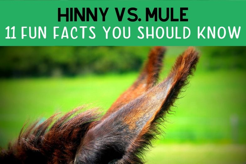 Hinny vs. Mule: 11 Facts You Need to Know
