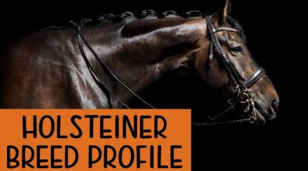 Holsteiner Horse: Breed Profile – History, Height, & Temperament