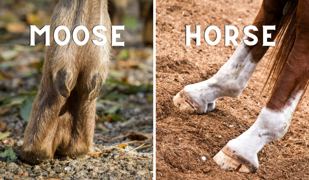Comparison picture between moose and horse hooves