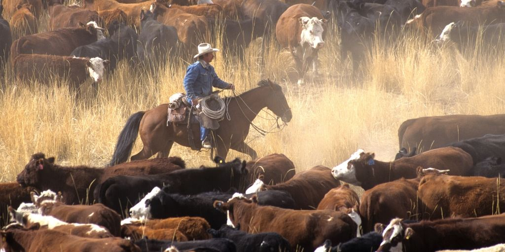 horse at work on a cattle ranch