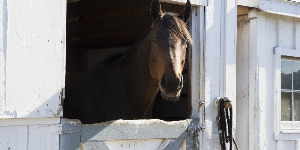 horse sticking head out of barn