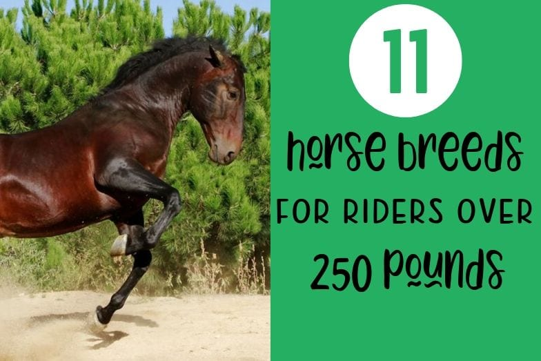11 Best Horse Breeds for Riders Over 250 lbs
