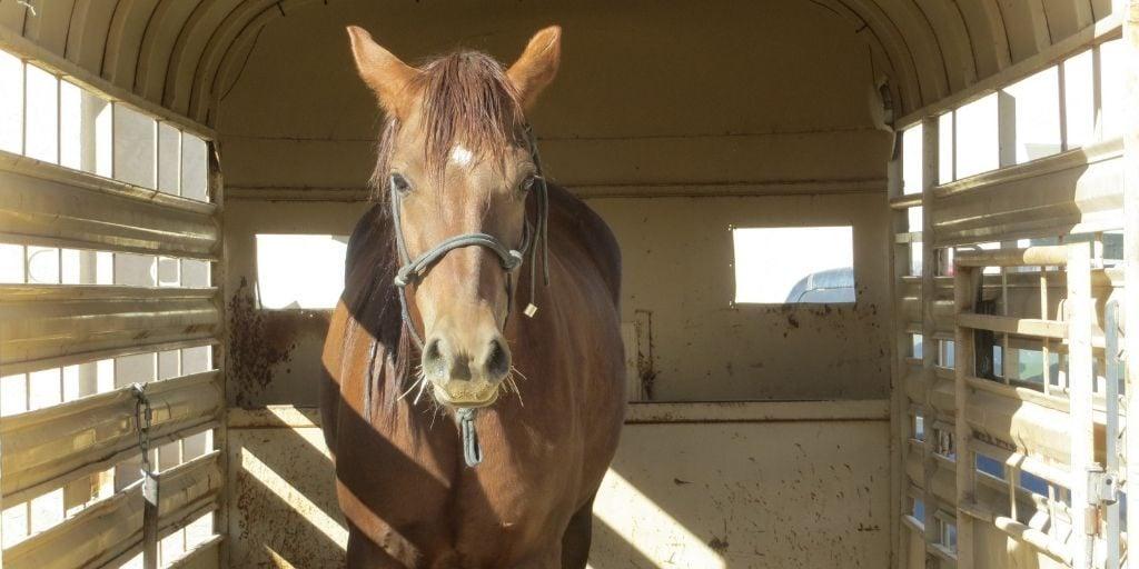 horse in stock trailer