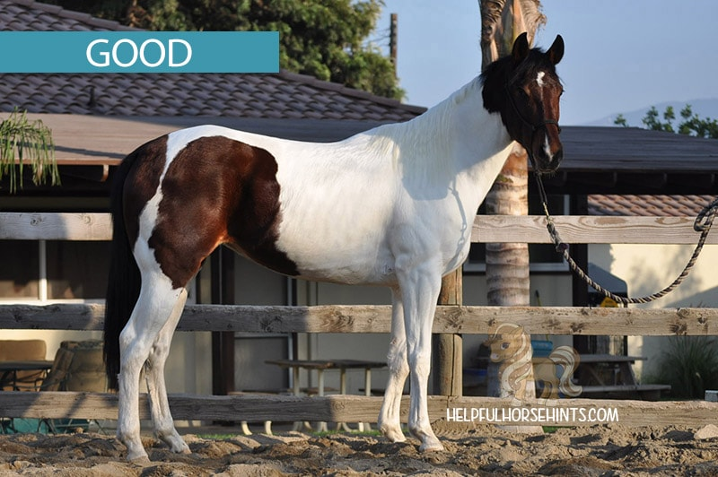 Of the three pictures of this horse, this is the better position for height measurement. Legs are evenly spaced and not too far apart or too close together.