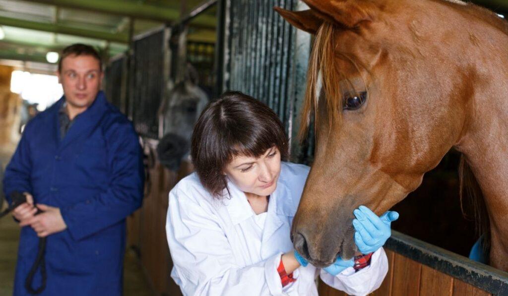 horse veterinarian checking the horse