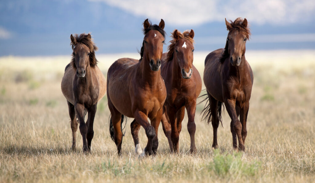 Brown horses running the field