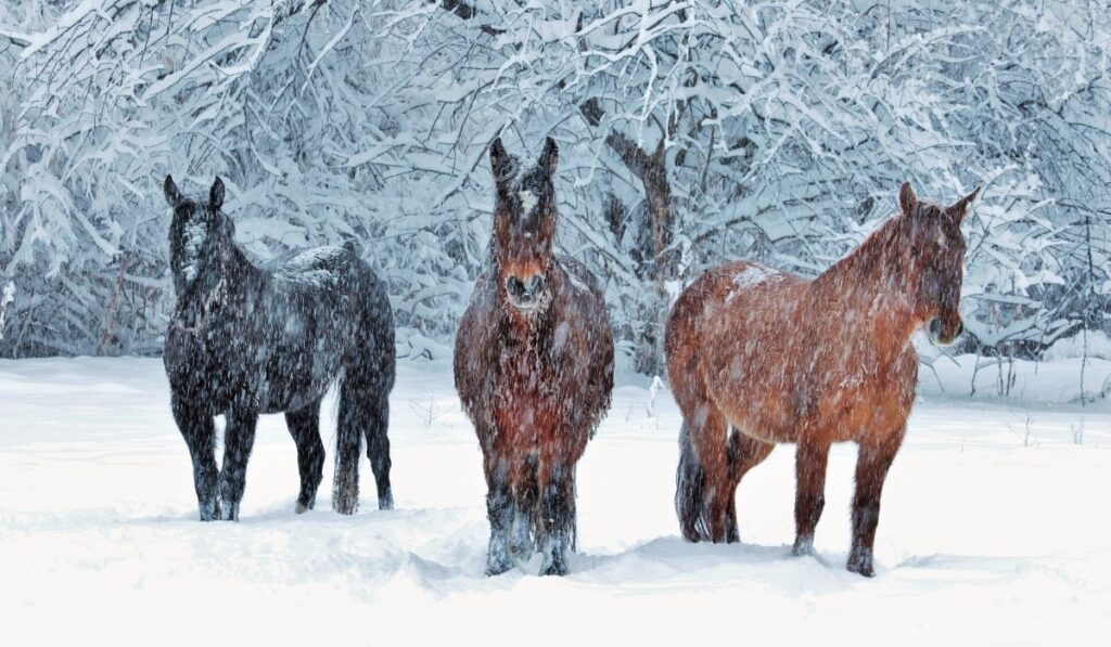 horses standing in the snow