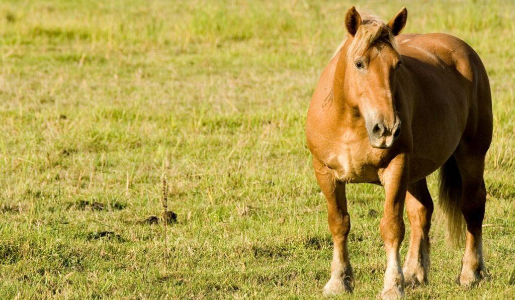 italian heavy draft horse in a field
