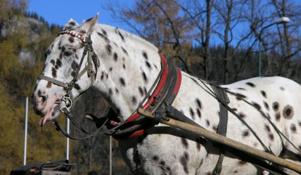 leopard horse