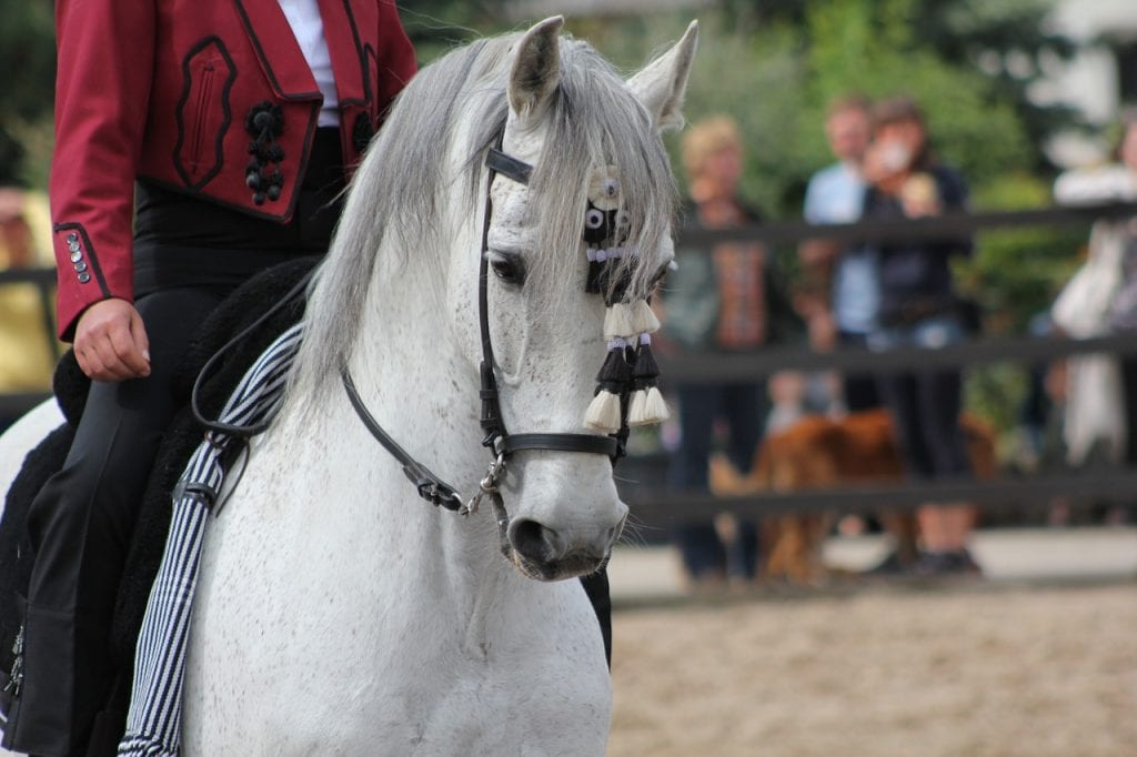 lusitano horse in traditional attire