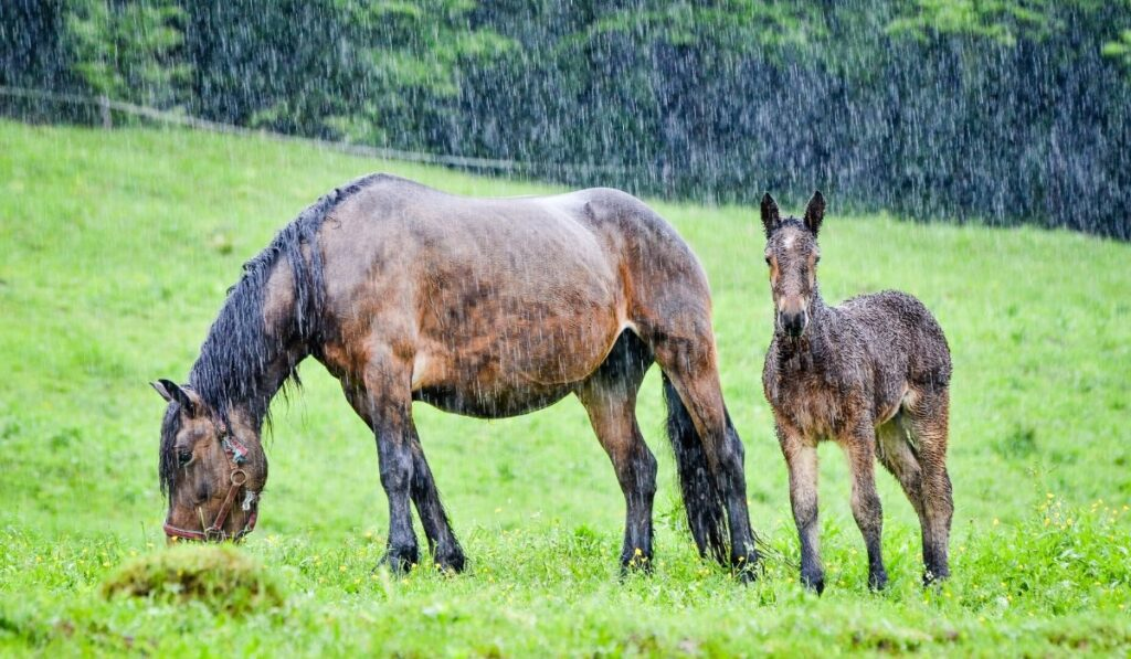 mare and foal in the rain
