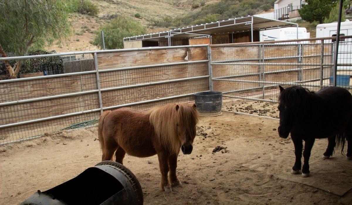 mini horses in rescue farm