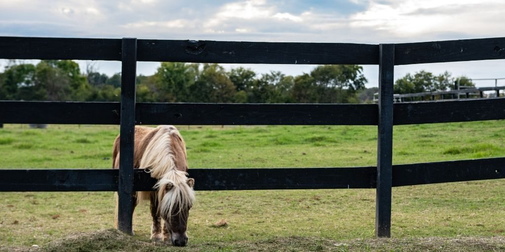 Mini horse in a pasture.