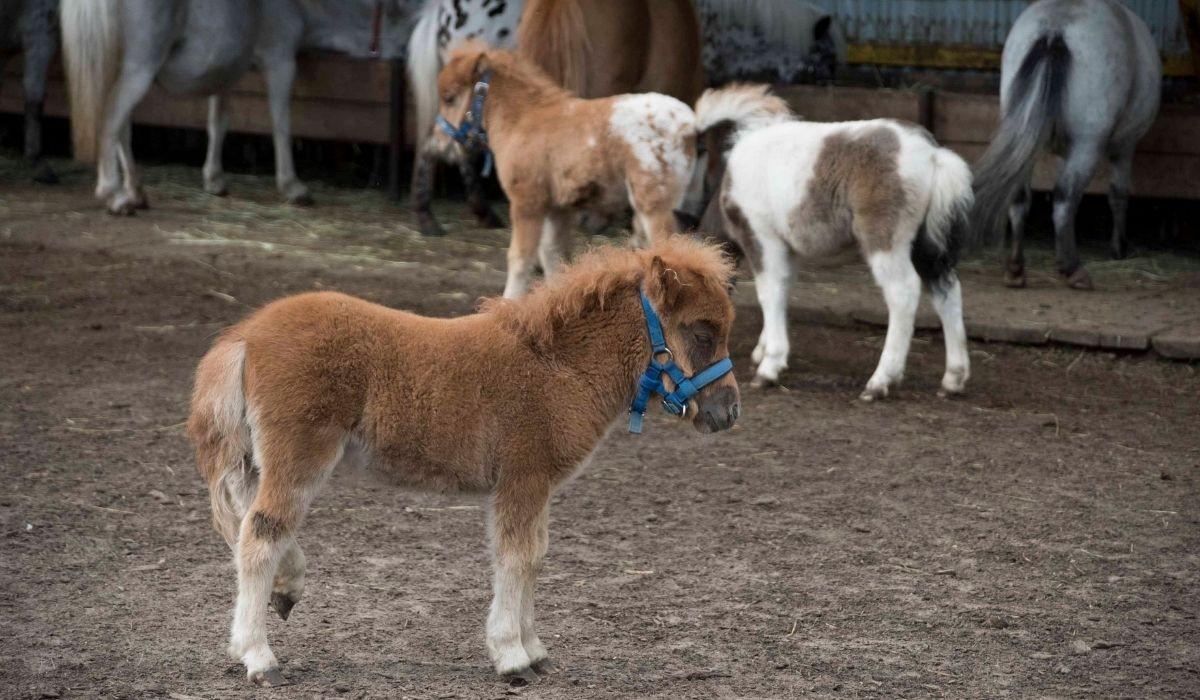 miniature horse rescue center