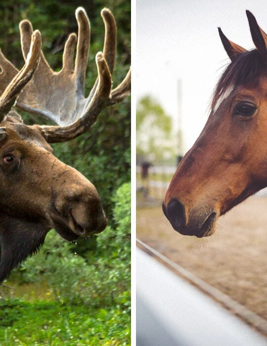 moose-and-horse