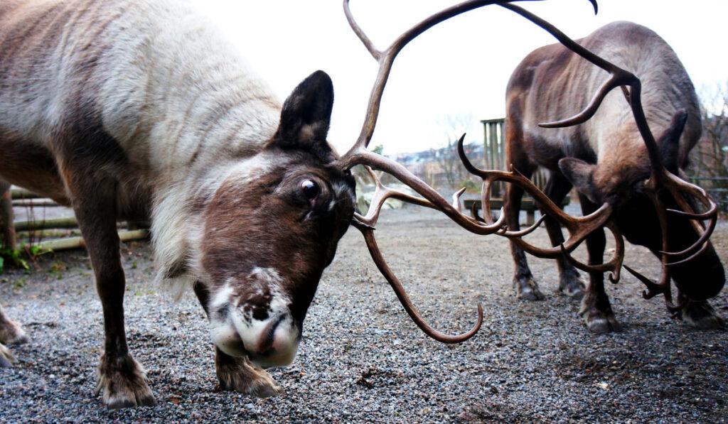 moose-fight