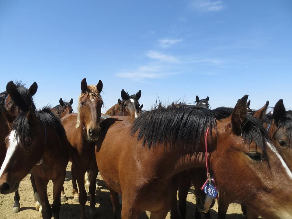 Mustang Horses at the BLM corrals in Ridgecrest, CA