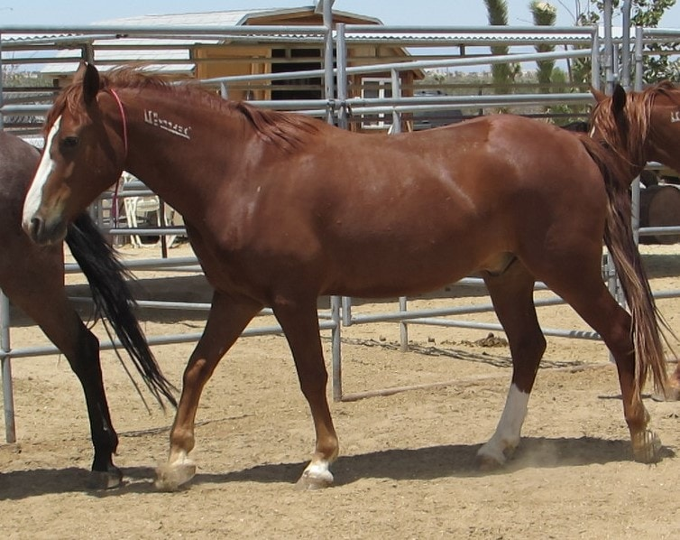 New Mustangs in for training with No Halter