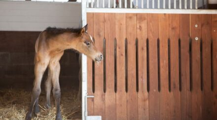 nurse mare foal alone in a stall