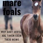 Pinterest image - Nurse Mare Foals - Why Baby Horses Are Taken from Their Moms