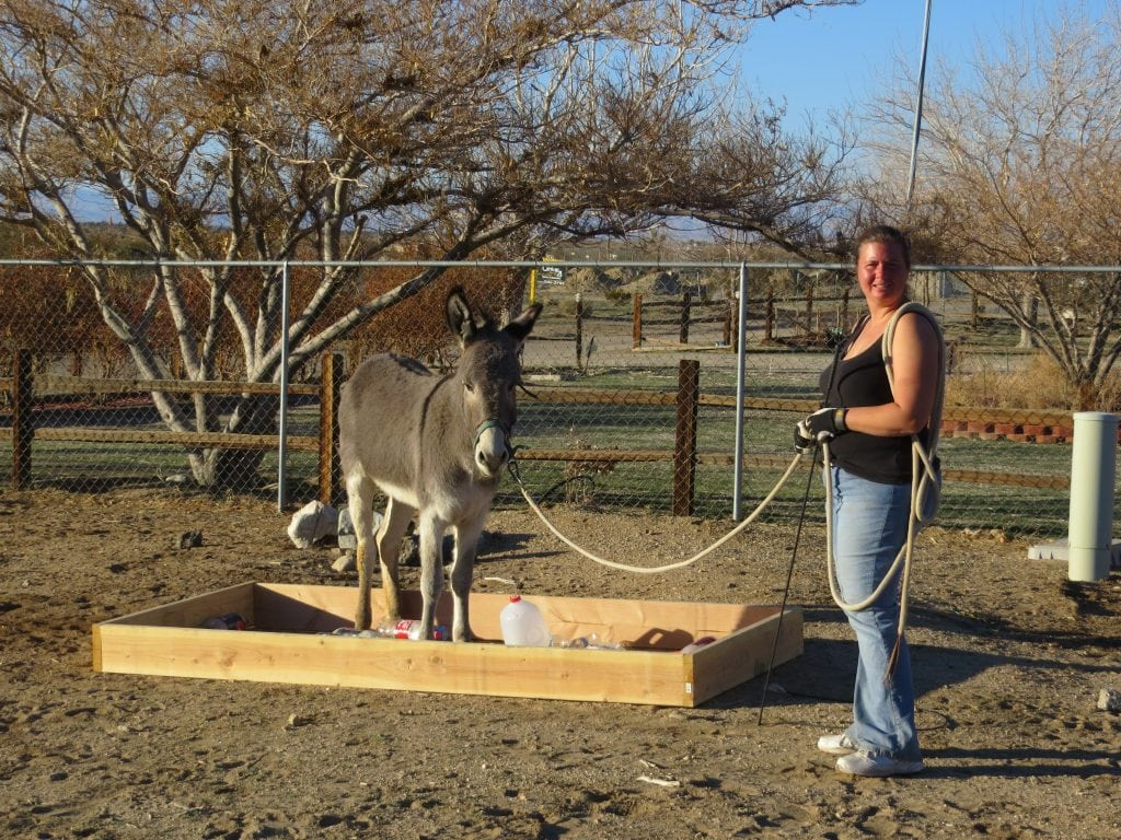 Obstacle course work with a BLM burro.