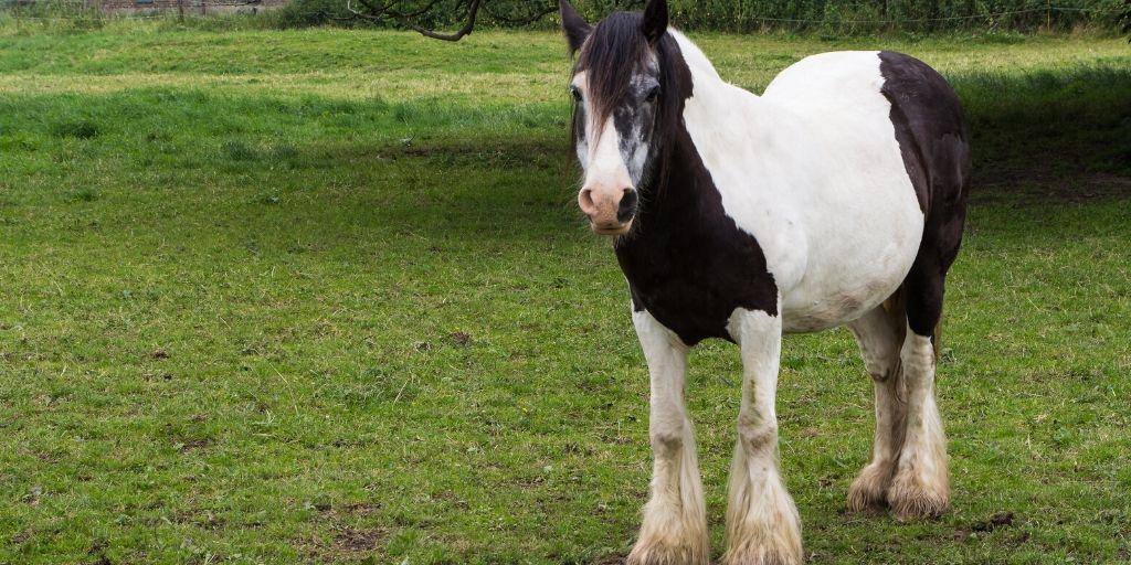older gypsy horse