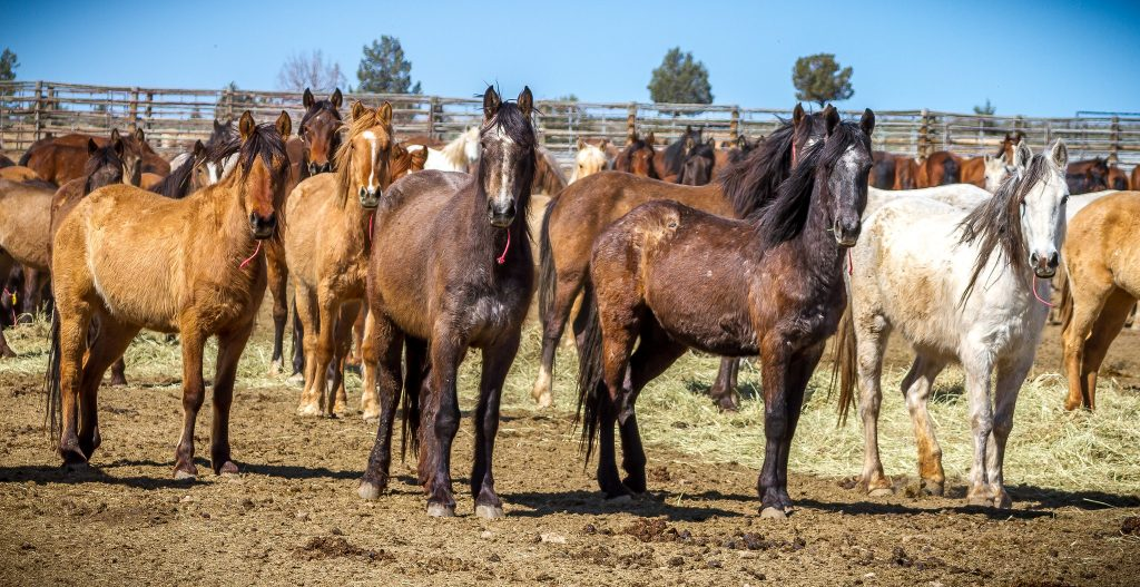 Group of Mustangs in Oregon BLM Facility   Photo by Greg Shine, BLM, April 7, 2016.