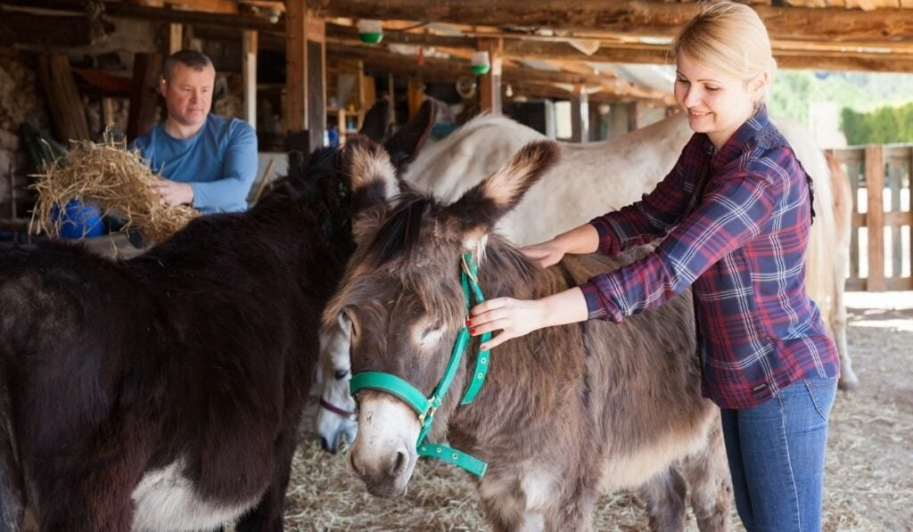 owners taking care of their donkeys
