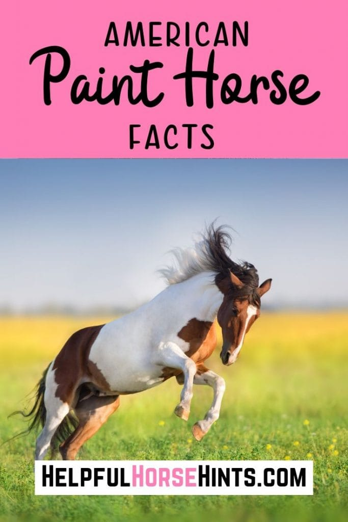 Paint horses are some of the most eye-catching and captivatingly beautiful horses that you will find. Here are just a few of the many eye-opening facts that you may not know about the American paint horse.