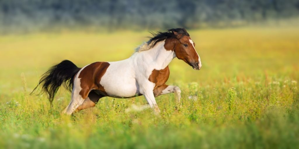 tobiano paint horse galloping in a grass pasture
