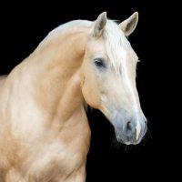 130+ Palomino Horse Names