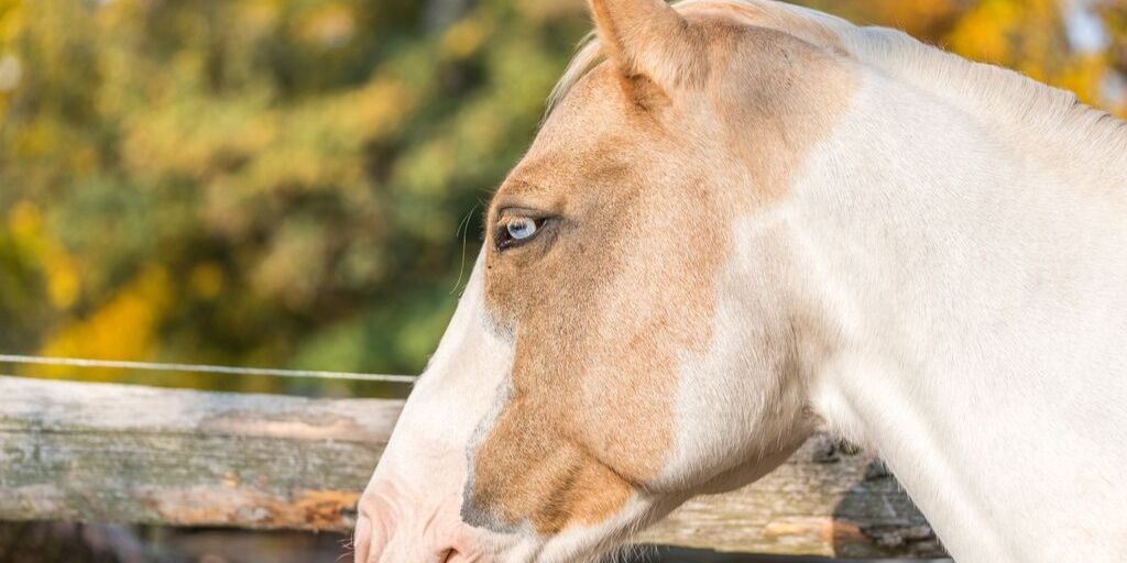 palomino with blue eyes
