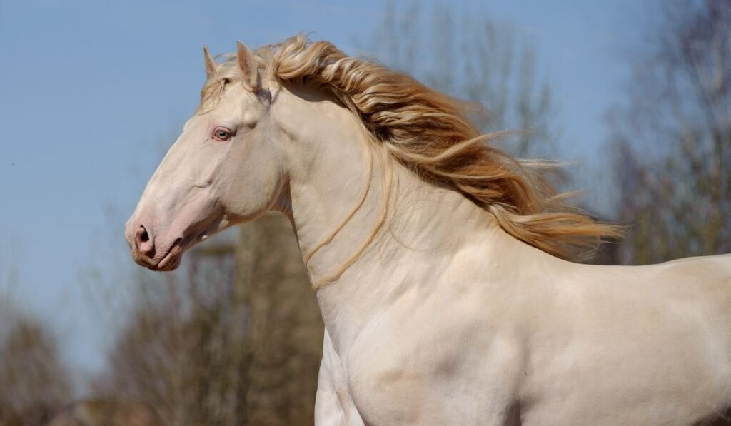 perlino horse close up photo
