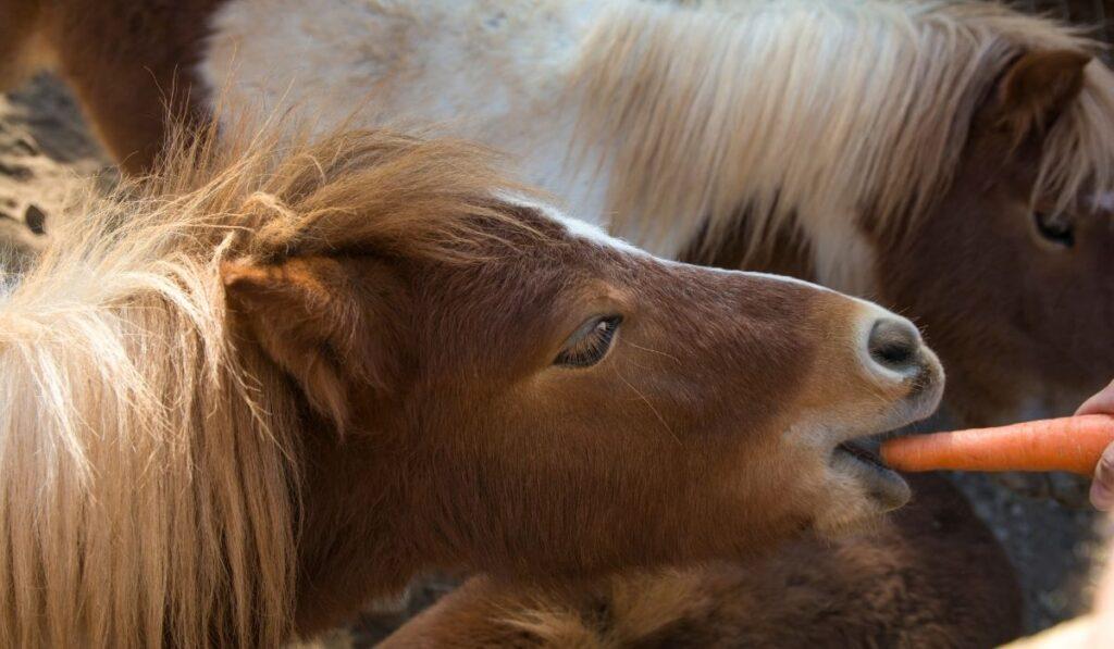 pony eating carrots