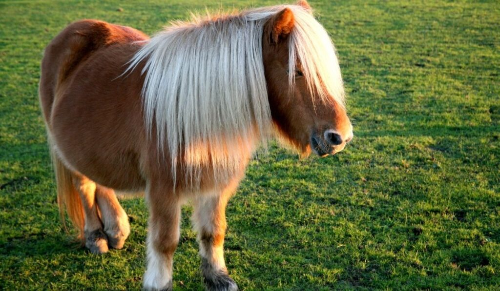 pony with white forelocks in an open field
