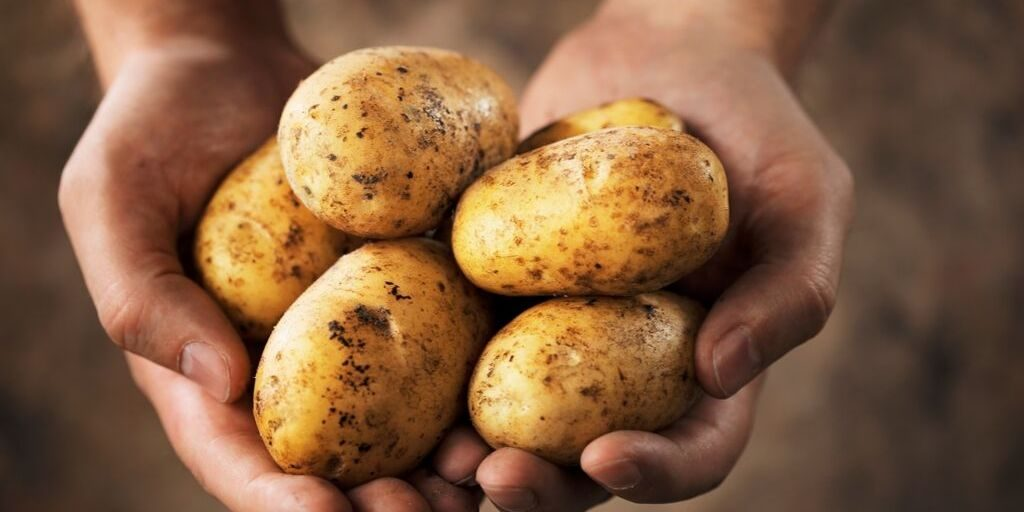a mans hands holding fresh from the garden potatoes