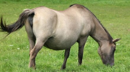 13 Ways to Tell If a Horse Is Pregnant