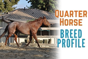 Quarter Horse Breed Profile – with History and Pictures