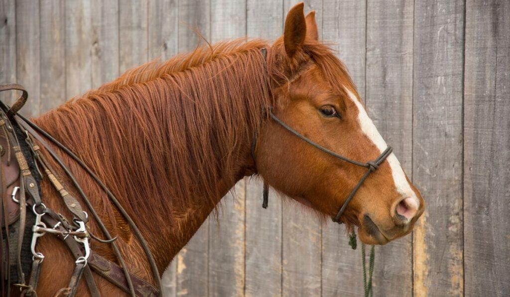 quarter horse ready to ride