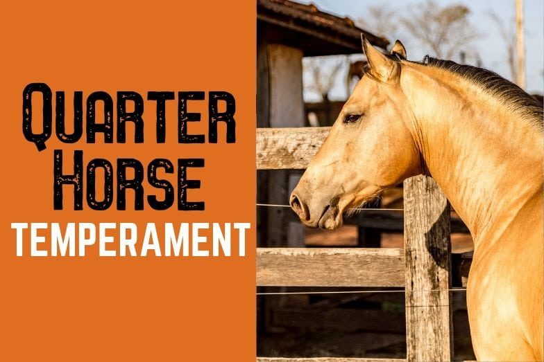 Temperament of the American Quarter Horse – A Detailed Look