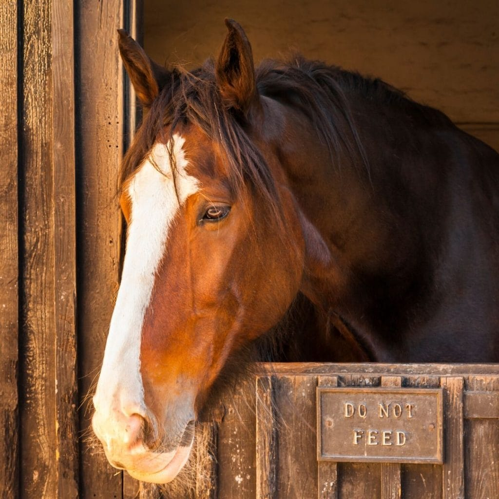 bay shire horse in stall