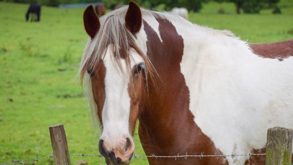skewbald paint horse