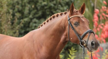 200+ Dutch Warmblood Names and KWPN Naming Rules