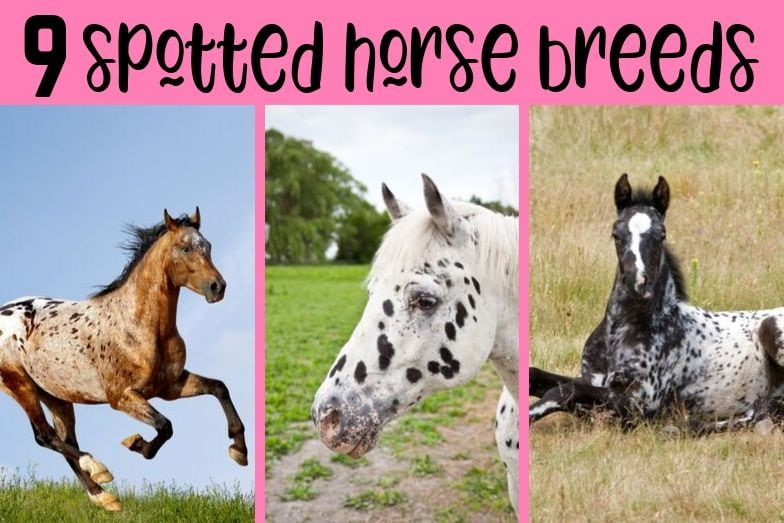 9 Spotted Horse Breeds You'll Love!